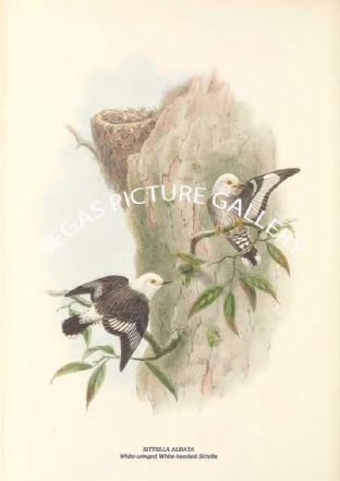 SITTELLA ALBATA - White-winged White-headed Sittella